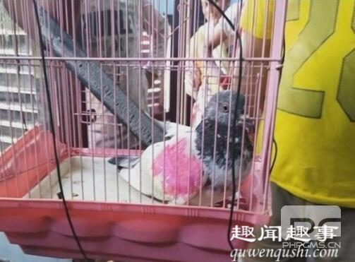 鸽子被指控为间谍面临入狱 这是什么操作?
