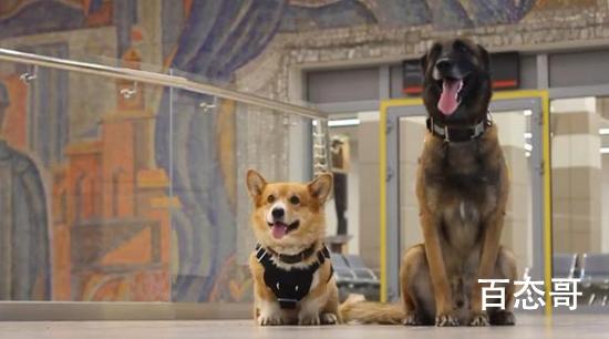 俄罗斯唯一一只柯基警犬退休 这名柯基多大年龄了