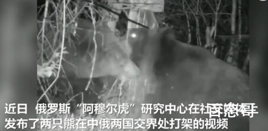 中俄边境两只熊打架 打架是为什么具体是怎么回事?