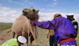 边境骆驼戴上反光腿带 野生骆驼怎么办?